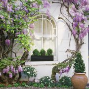 1429858608-wisteria-climbing-up-wall-of-house-with-window-box-linda-burgess